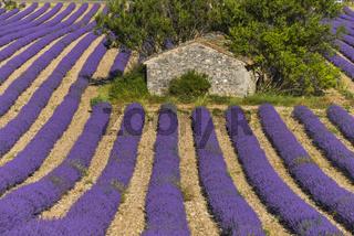 Steinhütte inmitten eines Lavendelfeldes bei Sault