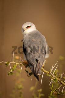 Black-shouldered kite looks down from thorny branch