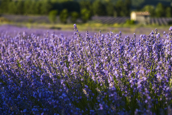 lavender bunch with evening sun and soft light near Sault
