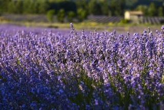 Lavendelbüschel in der Abendsonne und sanftem Licht bei Sault