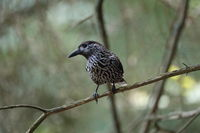 Spotted Nutcracker, Eurasian nutcracker Black Forest Germany