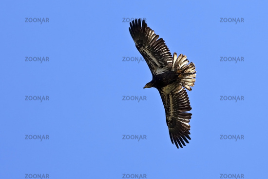 American bald eagle (Haliaeetus leucocephalus), young bird in flight from below, Pelm
