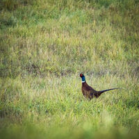 Pheasant in a meadow