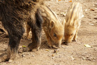 Two little piglets stand next to the hind legs of their big boar mother.