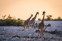 Giraffe at waterhole in Etosha Park, Namibia