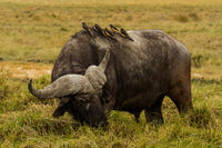 water buffalo with oxpeckers