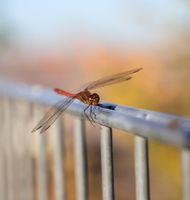 dragonfly ,