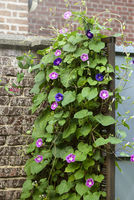 Beautiful morning glory with many blooms