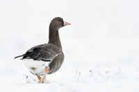 Greater White-fronted Goose * Anser albifrons * in winter, snow, walking away