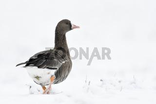 Abmarsch... Blässgans * Anser albifrons * läuft durch Schnee, Winter am Niederrhein