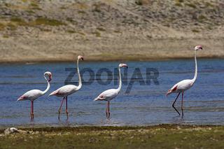 Lesser Flamingoes, Phoenicopterus minor Jawai Dam, Rajasthan, India