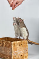 Two Rats On The Box