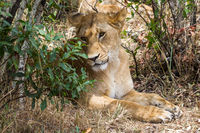 portrait of a posing lioness