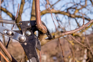 Pruning young fruit trees with garden scissors. Spring pruning of fruit trees in the garden.