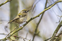 Goldcrest (Regulus regulus) on a branch