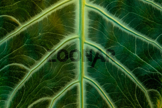 tropical banana leaf texture, large palm foliage nature dark green
