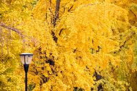 Street lampposts with yellow leaves on gingko trees in the background