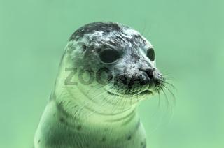 Junger Seehund (Phoca vitulina)