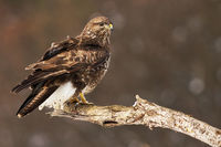 Common buzzard perched on the tree branch having a guard