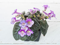 Small blue potted flowers blooming against white wooden background