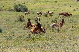 Herd of Red Hartebeest grazing in the grass