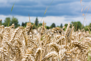 Wheat Grain Field Beige Landscape Nature Outdoors Farm Country