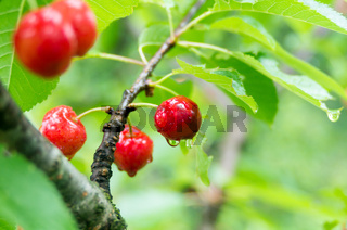 Fresh fruits of red cherry. Red cherries with drops of rain. Green leaf background. Closeup.