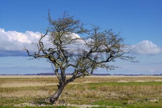 Baum auf der Insel Ummanz