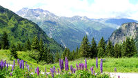 Blue lupines in the Alps