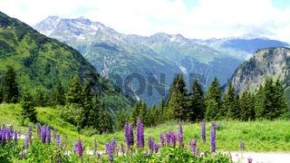 Blaue Lupinen in den Alpen