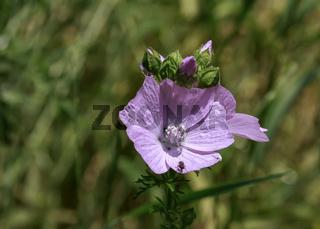 Storchschnabel, rosa blühend, (Geraniaceae)