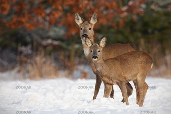 Roe deer, capreolus capreolus, family in deep snow in winter.