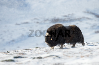 Musk ox standing in the mountains of Dovrefjell in winter