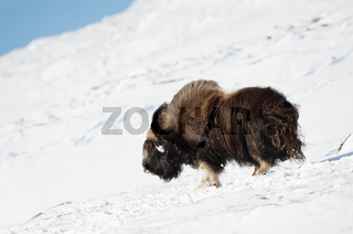 Male musk ox standing in snow in the mountains of Dovrefjell