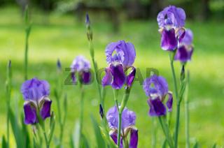 Violet flower iris in the garden. Flower in the garden. Spring flower iris shot in clear sun on green background of natural grass in iris garden.