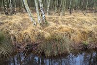 Totes Moor (Dead Moor) - Birch forest with grasses, Germany