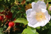 Rosehip fruit with blossom