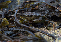European Green Crab (Carcinus maenas)