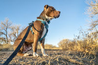 Young pit bull terrier dog in harness