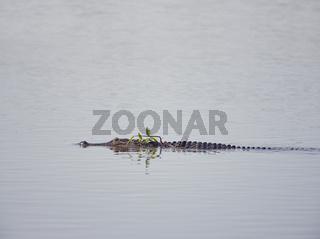 Alligator swims in Florida lake