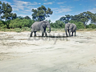 two grey elephants in Namibia
