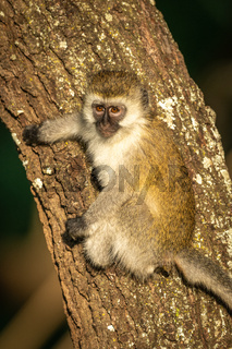 Vervet monkey with catchlight clings to tree