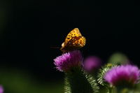 Hay butterfly on thistle, Frankenalb, Franconia, Bavaria