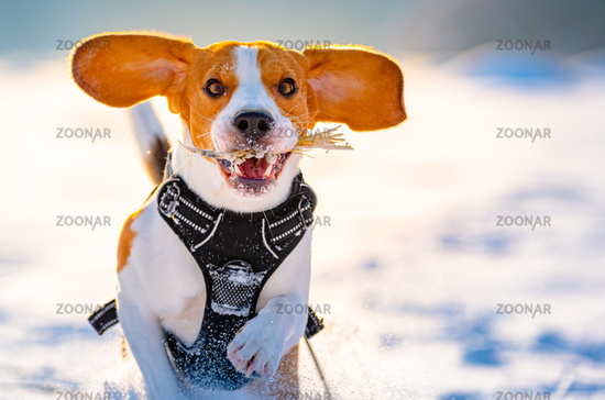 Beagle dog runs and plays in the winter field on a Sunny frosty day.