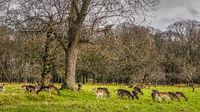 Large herd of deer in the forest scenery, Phoenix Park, Ireland