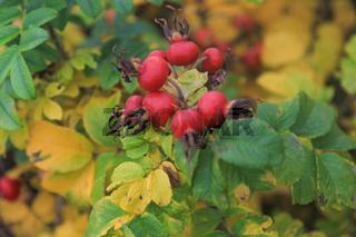 Hagebuttenstrauch mit roten Früchten