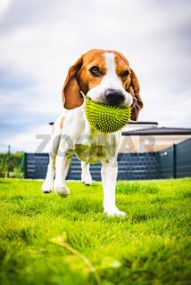 Beagle dog running towards camera with green ball