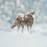 Young coyote walking  in the winter