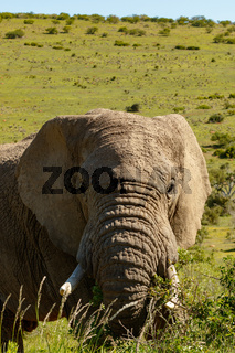 Elephant standing and eating on a bunch of branches
