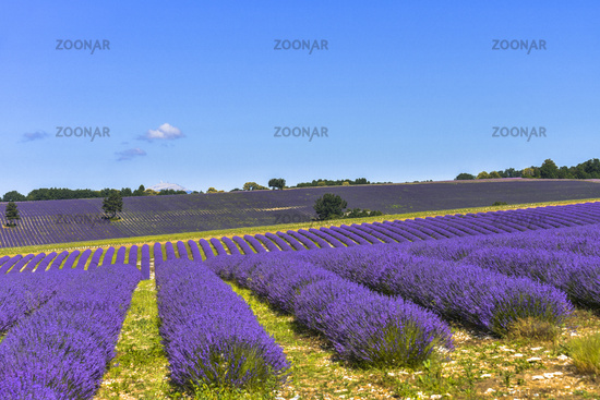 lavender field on hills, landscape extended to the horizon with sky and Mont-Ventoux